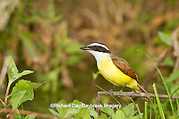 01246-00408 Great Kiskadee (Pitangus sulphuratus) hunting from perch Starr Co., TX