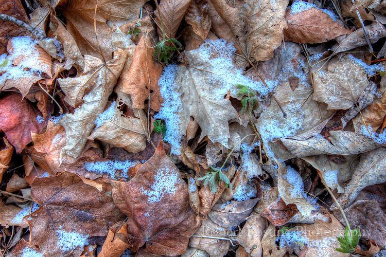 Leaves on ground with snow around them.
