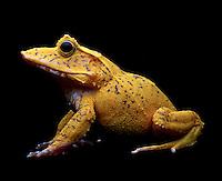 Yellow frog.