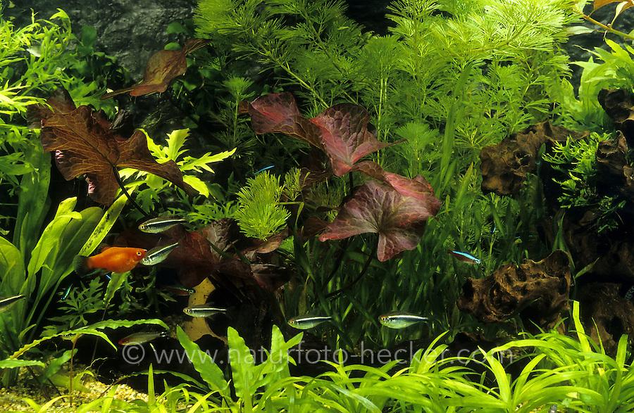 Eingerichtetes Aquarium, Gesellschaftsbecken, Warmwasseraquarium, tropisches Süßwasser-Aquarium, aquarium, fish tank. Schwarzer Neon, Schwarzer Neonfisch, Schwarzer FlaggensalmlerHyphessobrycon herbertaxelrodi, black neon tetra, Le Néon noir, Tétra néon noir. Wagtail-Platy, Platy, Spiegelkärpfling, Xiphophorus maculatus, southern platyfish, common platy, moonfish, platies, Lebendgebärende Zahnkarpfen. Roter Tigerlotus