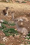 Mount Carmel. Fallow Deer at the Hai-Bar Carmel Nature Reserve