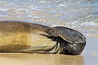 Hawaiian Monk Seal (Monachus schauinslandi) resting on beach.  Kauai, Hawaii.  February.