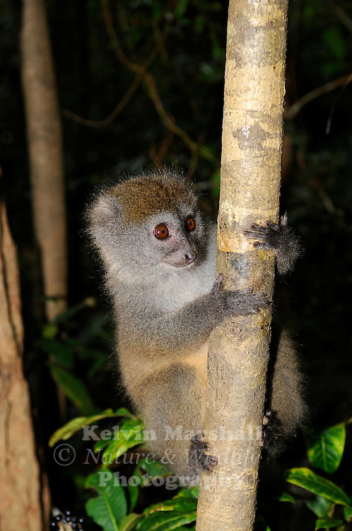 Eastern Lesser Bamboo Lemur (Hapalemur griseus). Also known as Eastern Grey Bamboo Lemur. Lemur Island in Andasibe-Mantadia National Park in eastern Madagascar. Listed as Vulnerable on the IUCN Red List