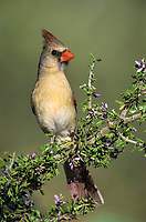 northern cardinal, Cardinalis cardinalis, female on blooming Guayacan, Guaiacum angustifolium, Starr County, Rio Grande Valley, Texas, USA, North America