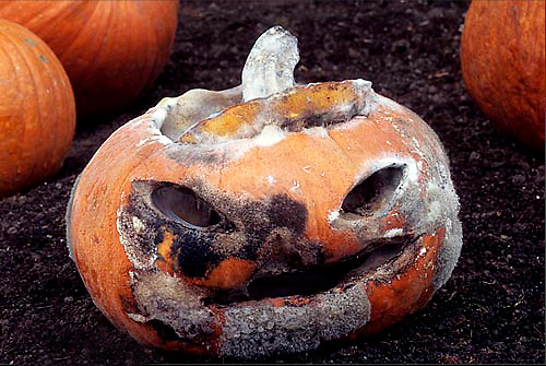 DC08-070k Decomposing jack-o-lantern pumpkin, mold