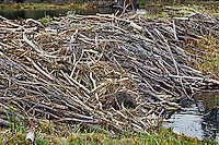 North American Beaver (Castor canadensis)  working on large dam.  Western U.S., spring.