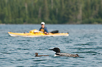 A kayaker stays clear of Common loons and chicks at Isle Royale National Park.