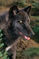 694929397 a juvenile gray wolf canis lupus stands next to a small fir tree at wildlife rescue facility - species is native to the northern tier of north america and is considered a vulnerable species due to excessive huniting in its range