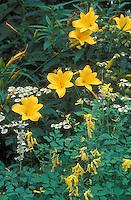 Corydalis lutea, Hemerocallis Stella D'Oro daylilies in garden combination, Tanacetum parthenium syn. Chrysanthemum parthenium aka feverfew chamomile herb for yellow and white planting color theme, perennials, herbs