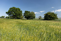 30.5.2020 Winter Barley in the Lincolnshire fens <br /> ©Tim Scrivener Photographer 07850 303986<br />      ....Covering Agriculture In The UK.