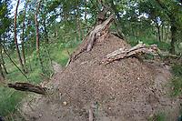 Waldameise, Rote Waldameise, Ameisenhaufen, Ameisenhügel, Ameisennest, Formica spec., (F. rufa oder F. polyctena), wood ant, Wood Ants, Formica sensu stricto