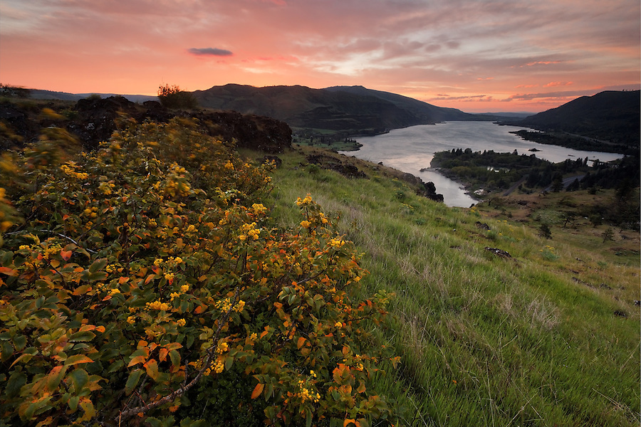 Sun rises over the Columbia River and Oregon Grape on the Rowena Plateau, Tom McCall Wildflower Preserve, Rowena, Oregon, USA