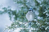 01288-03819 Blue Jay (Cyanocitta cristata) in Juniper tree in winter  Marion Co.  IL