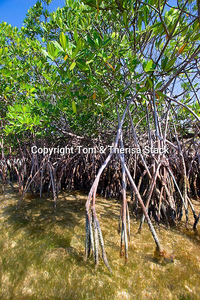 Red Mangrove, Rhizophora mangle, Biscayne National Park, Florida