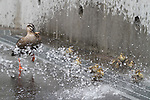 June 29, 2012, Tokyo, Japan - A spot-billed duck and eight ducklings indulge themselves in a pool of fresh water at the loading dock of a local printing factory in Tokyo residential area on Friday, June 29, 2012. .The family took a short distance walk from their habitat, a pond at a local plant of electric cables, to the neighboring printing factory. Not knowing where they came from and what to do with the unexpected visitors, the factory staff treated them with care by spraying water before police came to rescue on the tip from the cable company. The siblings were rounded up to be brought back to their nest but their mother flew away. (Photo by AFLO).