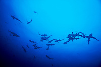A large school of White Tip Reef Sharks ( Triaenodon obesus ) swimming in open water off Cocos Island, Costa Rica.
