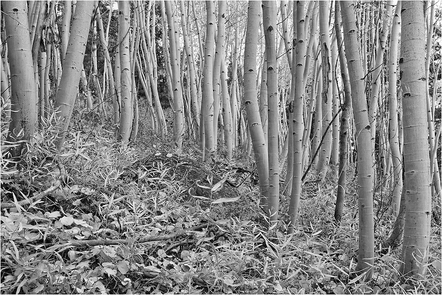 I try to find unusual perspectives in some of the Colorado images I produce, especially for my black and white images. This aspen grove and beautiful trunks were found just outside of Fraser, Colorado, along a dirt road. This road normally closes during the winter, so fortunately the snows hadn't fallen yet and I was able to access this location.<br /> <br /> I loved the landscape within this small forest, and the potential for black and white conversion caught my eye, too. Colorado offers a lot of opportunities such as this. One need only to go exploring!