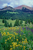 Little sunflower and cow-parsnip<br />