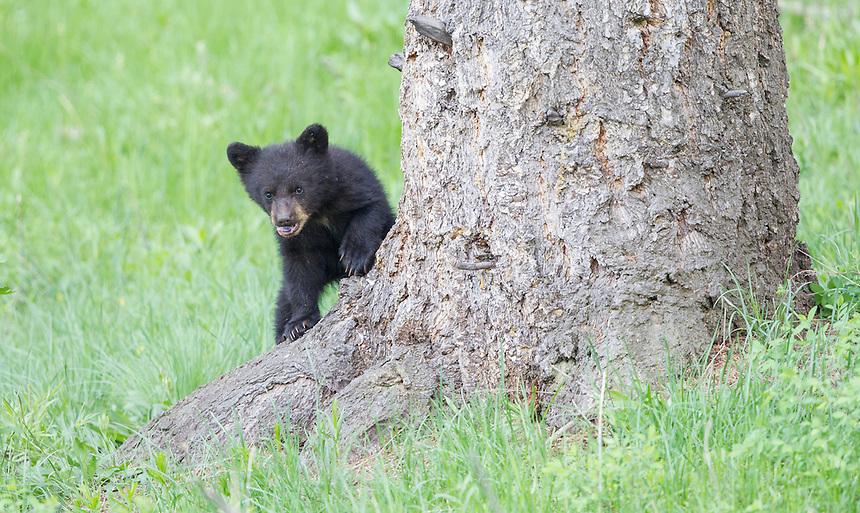 American Black Bear<br /> Ursus americanus<br /> Yellowstone National Park, Wyoming, USA