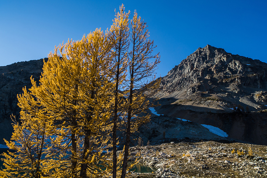 A small stand of western subalpine larch trees shed their yellow needles during fall with Black Peak in the background at Wing Lake, North Cascades, Washington State.