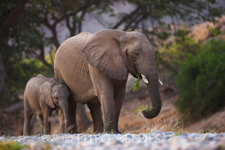 Namibia;  Namib Desert, Skeleton Coast,  desert elephant (Loxodonta africana) mother and calf walking in dry river bed
