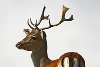 Male fallow deer with big antlers on a blurred background