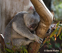 0802-1002  Sleeping Koala, Phascolarctos cinereus © David Kuhn/Dwight Kuhn Photography