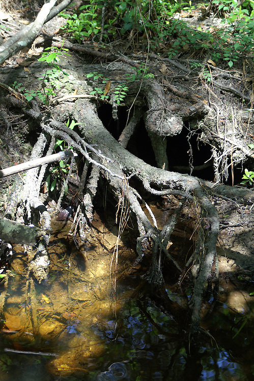 The water in the stream reflect the roots of the pine tree that is being undercut by the stream flow.