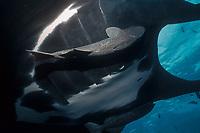 Pacific manta ray with remora, San Benedicto Island, Revilligigedos, Manta birostris, Remora sp., Mexico, East Pacific Ocean
