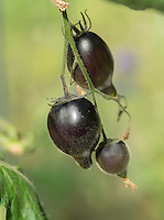 Black tomatoes in a garden greenhouse, Chipping, Lancashire.
