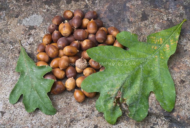 Blackjack or Scrub Oak leaves and acorns Quercus marilandica