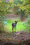 A Deer seen in the Esopus Bend Nature Preserve, in Saugerties, NY, on Thursday, October 19, 2017. Photo by Jim Peppler. Copyright/Jim Peppler-2017.