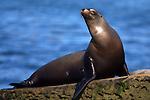 USA; California; La Jolla; San Diego; A seal in La Jolla
