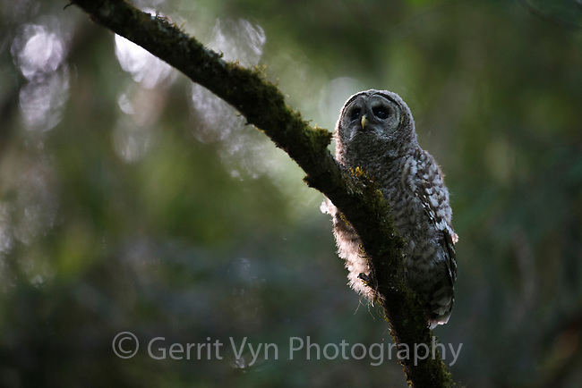 Fledgling Barred Owl (Strix varia). King County, Washington. May.