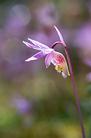 Spring blossoming Fairy Slipper or Calypso Orchid, Fairbanks, Alaska.