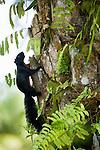 Prevost's Squirrel (Callosciurus prevostii) on African Oil Palm (Elaeis guineensis) trunk in plantation, Tawau Hills Park, Sabah, Borneo, Malaysia