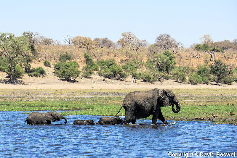 Elephants cross a small channel of the Chobe River in Chobe National Park, Botswana.