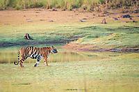 Bengal tiger, Panthera tigris tigris, Tadoba Andhari Tiger Reserve, Tadoba Andhari National Park, Chandrapur, Maharashtra, India