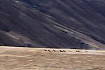 Argali (Ovis ammon) females running, Sarychat-Ertash Strict Nature Reserve, Tien Shan Mountains, eastern Kyrgyzstan