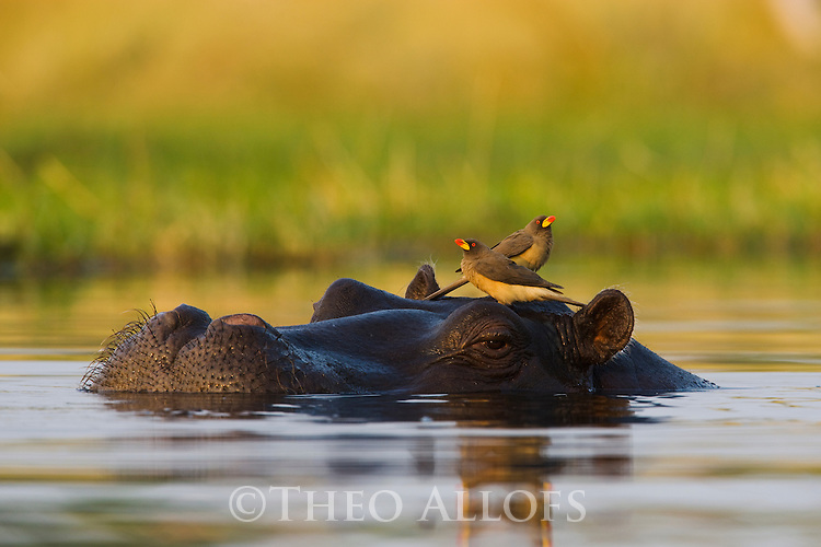 Hippopotamus (Hippopotamus amphibius) in water, red-billed oxpecker (Buphagus erythrorhynchus) on head