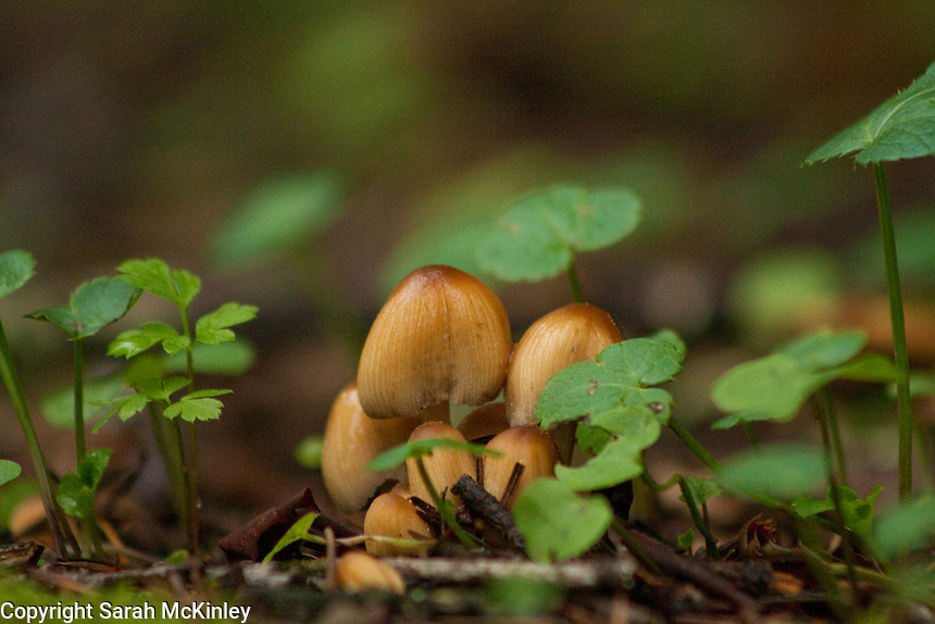 A cluster of mushrooms surrounded by small green plants on the forest floor near Lake Sonoma near Healdsburg in Sonoma County in Northern California.