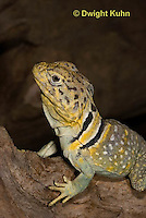 1R17-553z  Collared Lizard close-up of face, Male, Crotaphytus collaris