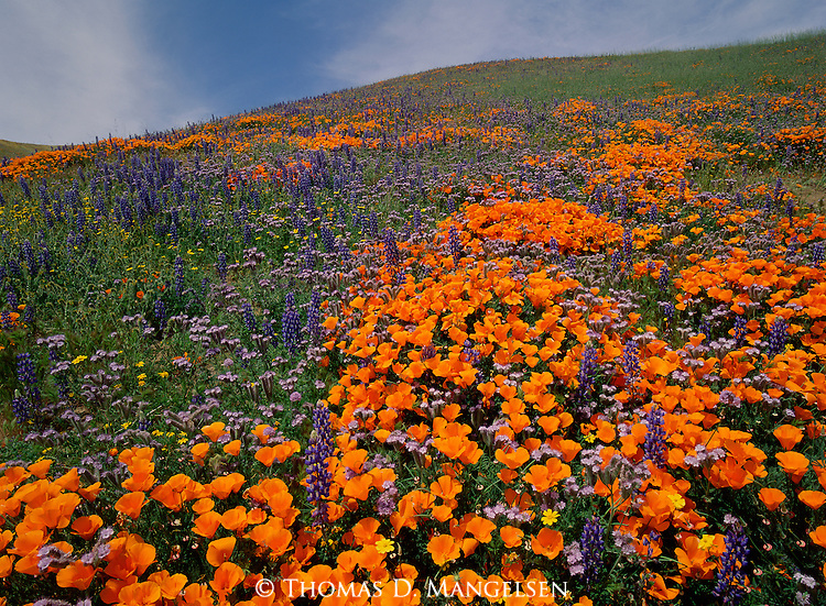 Spring rains in the rolling grasslands of California bring out incredible displays of poppy and lupine.