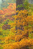 Japanese maples and douglas fir trees in autumn