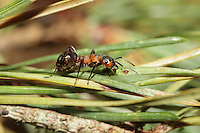 Wood ant - Formica rufa on Pine needles.