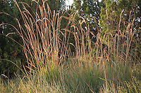 Indian grass (Sorghastrum nutans) flowering in Xeriscape New Mexico meadow garden design by Judith Phillips