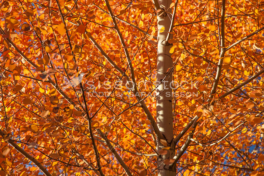 Orange fall leaves on birch trees, Lake Pukaki, South Island NZ