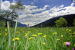 Spring flowers and mountains, Imst district, Tyrol/Tirol, Austria, Alps.
