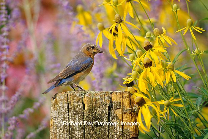 01377-07206 Eastern Bluebird (Sialia sialis) female on fence post in flower garden  Marion Co. IL