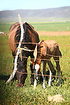 MARE and her FILLY GROWSE on the RANCH INSIDE BARB WIRE FENCE<br /> <br /> Livestock are domesticated animals raised in an agricultural setting to produce commodities such as food, fiber and labor.